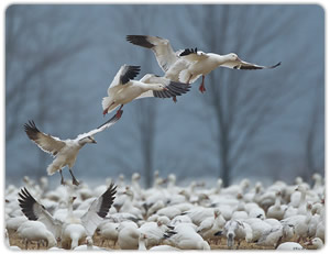 Fowl play guide service eastern shore maryland deer goose duck.